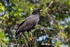 Aguililla Negra Mayor - Great Black Hawk by abasora