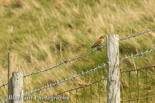 Meadow Pipit | by suzypud