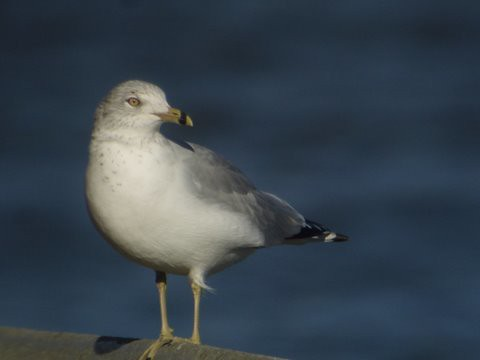 Ring-billed Gull, Dunkirk Harbor, NY | by Marg Higbee