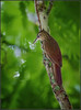 Northern Lesser Woodcreeper