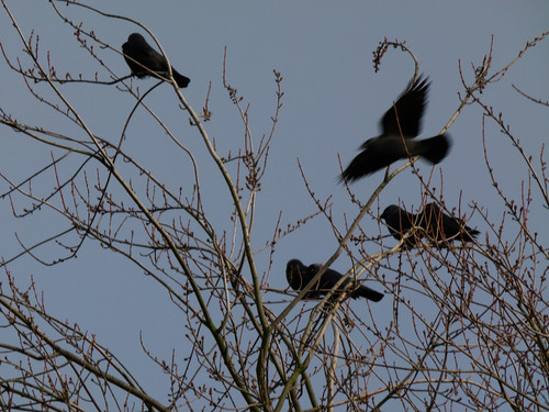 Jackdaws in a cherry tree