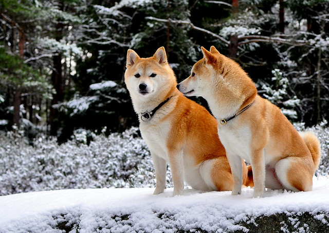 Who are you looking at? (Shiba)