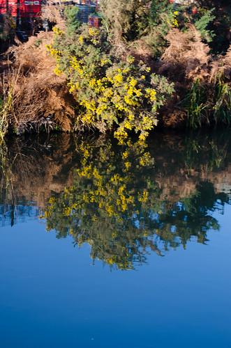 Gorse bush by a canal
