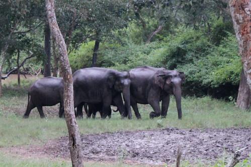 india nature canon nationalpark asia wildlife elephants karnataka tamilnadu southindia eos500d bhandipur