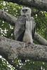 030201-IMG_1720 Harpy Eagle (Harpia harpyja) by ajmatthehiddenhouse