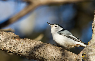 White-Breasted Nuthatch | by Shawn McCready