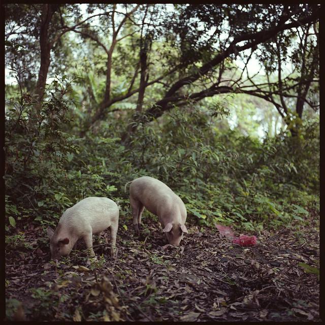 dejeuner sur l'herbe avec les porcs sauvages