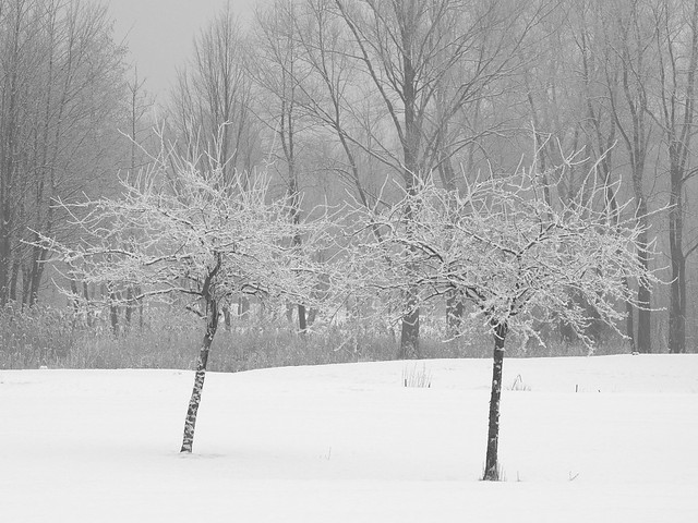 Trees with winter make-up