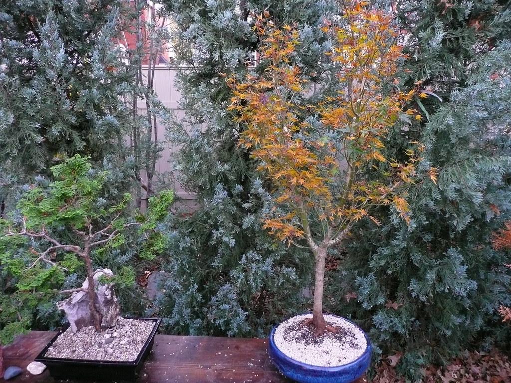 Acer Palmatum Okushimo Fall Color Acer Palmatum Okushim Flickr