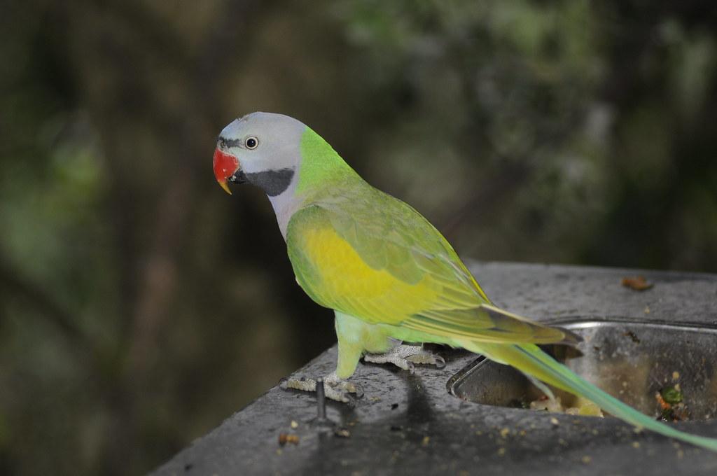 Moustache Parakeet | Psittacula Alexandri Fasciata, or at le