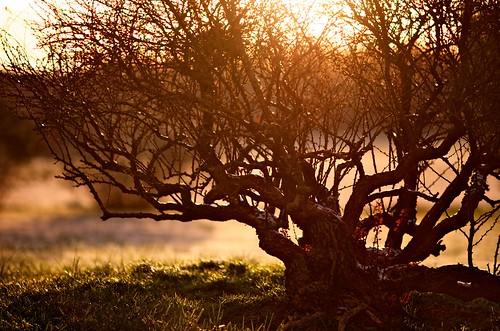 nature sunrise bush f14 85mm maryland 85mmf14g upperco crimsonpygmymulberry