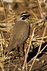 Bronze-winged Courser. by Nydiaso.