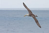 Albatros de Galápagos by ik_kil
