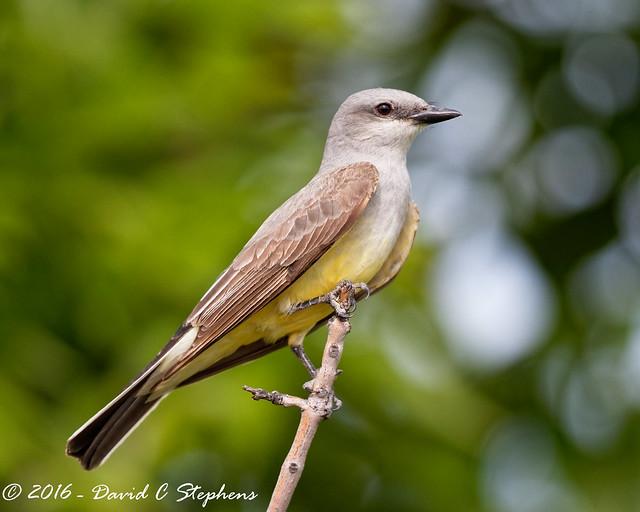 Western Kingbird Portrait