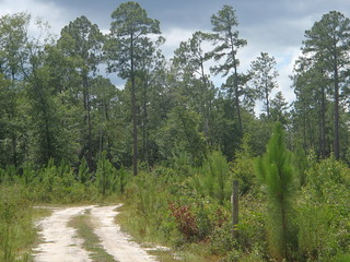 Longleaf old and new