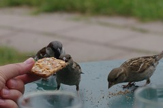 sparrows eating biscuit crumbs, Vlietzicht