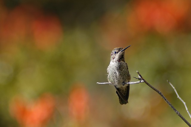 Humming Bird Malibu Creek
