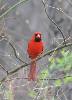 Cardinal on Cold Morning