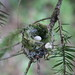 Flickr photo 'Rufous hummingbird (Selasphorus rufus) nest, Galiano Island, BC' by: rosie.perera.
