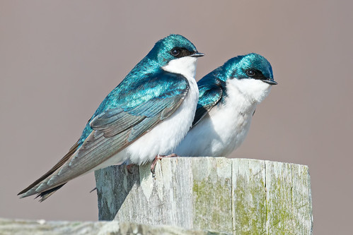 Tree Swallows | by Brian E Kushner