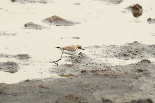 東方環頸鴴 Kentish Plover | by 好比利