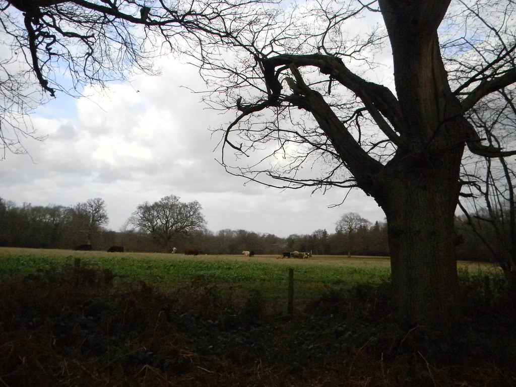 Cows and trees Westhumble Circular