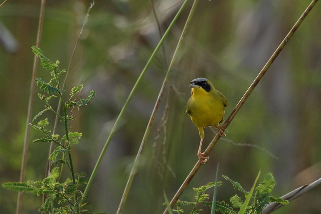 28/366 - masked yellowthroat