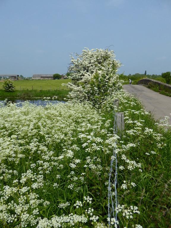 Cow parsley and hawthorn blossom Thame Circular walk