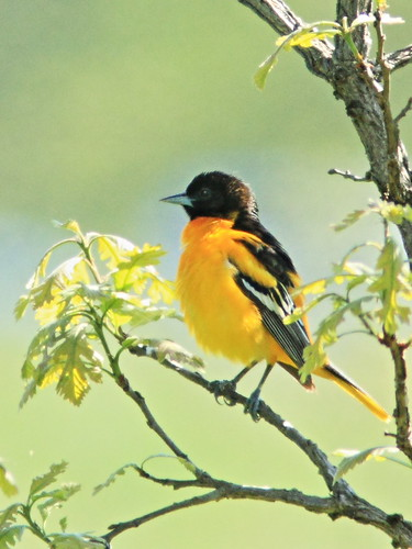 Baltimore Oriole 2-20160513