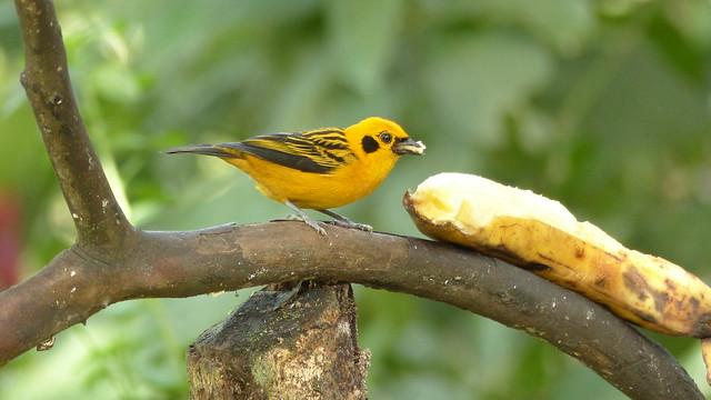 Golden tanager - Calliste doré - Tangara arthus