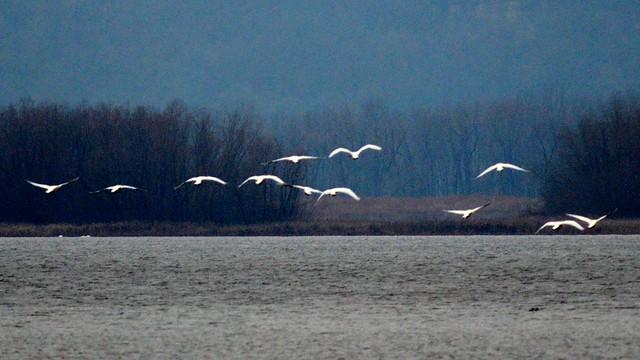trumpeter swans fulton illinois area