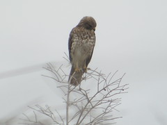 Broad-winged Hawk, Everglades NP, FL