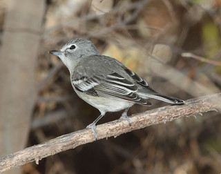 VIREO, PLUMBEOUS (1-4-12) clark's crossing, santa cruz river, scc, az -01 | by Alan Schmierer