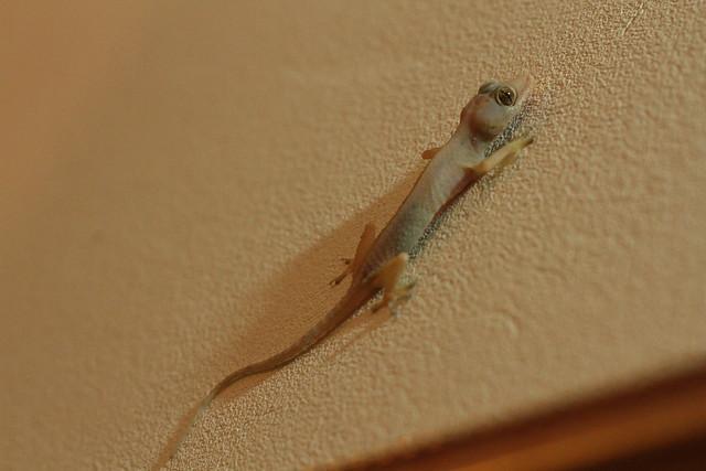 4/366 - gecko