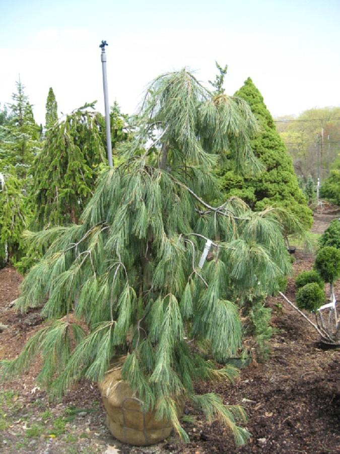 Pinus Strobus Angels Falls Weeping White Pine Zone 4 H Flickr