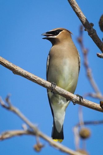 Cedar Waxwing (Bombycilla cedrorum) | by Photo Patty