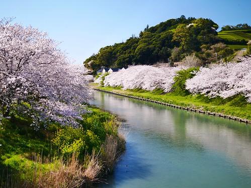 sunset march spring 桜 sakura shizuoka 2014 春 静岡 shizunami gx7 勝間田川 katsumatagawa leicadgsummilux25f14 静波