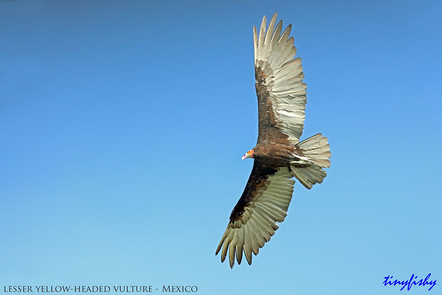 (742a) Lesser Yellow-Headed Vulture With New Canon 400mm f/4 DO Lens - [ Rio Lagatos, Mexico ]