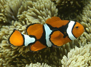 Amphiprion percula | by CoralCoE