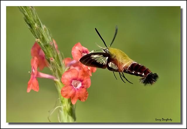 Clearwing moth feeding at Mizell Farms Nursery....
