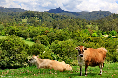 landscape coast landscapes cow cows north australia nsw mid araluen volcanicplug jerseycows bdi festivalofflowers rurallandscape midnorthcoast rurallandscapes bignellie littlenellie manningvalley hannamvale coorabakhnationalpark deepcreekroad manningvalleytourism hannamvalefestivalofflowers hannamvalegardens