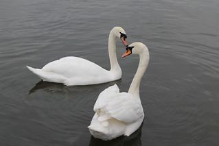 Swans | by fslangridge