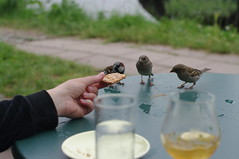 sparrows on table