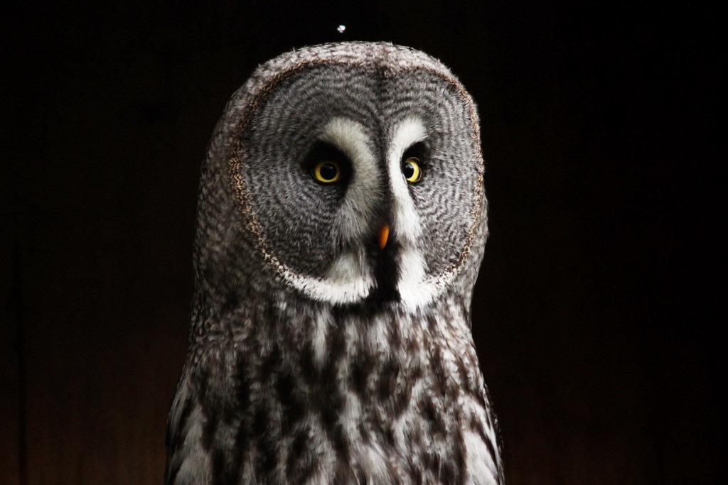 Great Grey owl | The great grey owl is a large, reclusive ...