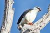 030156-IMG_1869 Black-faced Hawk (Leucopternis melanops) by ajmatthehiddenhouse