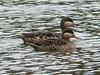 Red-billed Duck (Anas erythrorhyncha) Rotschnabenente by Werner Witte