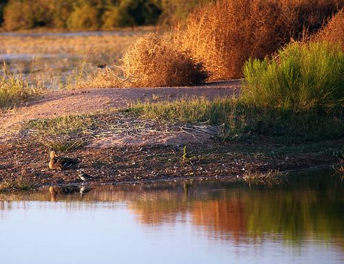 red arizona orange lake green fall nature yellow composition gold golden duck warm seasons fallcolor bestviewedlarge fourseasons gilbert goldenhour wadingbird gilbertriparianpreserve riparianpreserve riparianpreserveatwaterranch