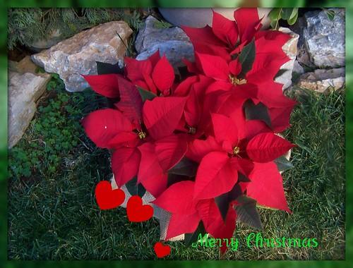 Christmas plant and Seasonal Greetings