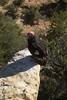 California Condor #26, Gymnogyps californianus by Diana B.