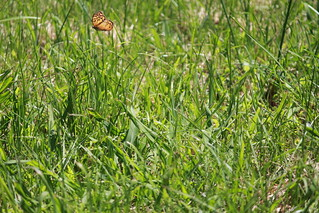 Butterfly in grass | by @ampers